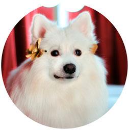 photo exhibition dogs; photo exhibition Dogs La Beauty; watch online; photo exhibition Japanese spitz; photos white dogs; best dogs photos; Japanese spitz photos; dogs show 2016; best dogs photos