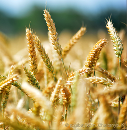 Weizen Gesund Homöopathie Leakygut Mikrobiom