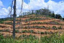 オイルパームやゴムの栽培地となって しまった周囲の山。学校の周囲では、山 火事による被害も多い