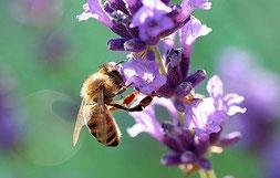 Más del 80 por ciento de las plantas con flores dependen de las abejas para producir frutos.