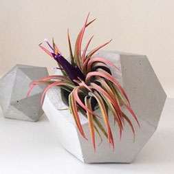 Blooming Rubra Tillandsia Air Plant In A Concrete Dodecahedron Vessel by PASiNGA