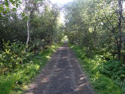 Bois de bouleaux  dans le cadre du programme de reforestation en Islande