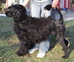 Fellpflege - Portugiesischer Wasserhund