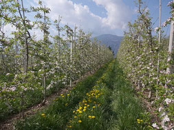 Bild von Wiese mit blühenden Apfelbäumen in Dorf Tirol Südtirol