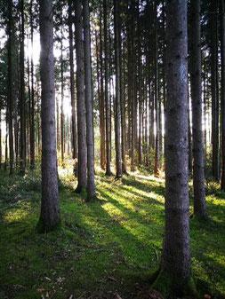 Weg in den lichten Wald       Ruhe und Regeneration beim Waldbaden
