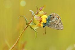 Wo Bläulinge flattern, finden sich struktur- und artenreiche Lebensräume für Insekten und co. Foto: Anne-Marie Kölbach