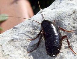 Désinsectisation dans le Vaucluse, traitement contre les blattes, cafards, Orange, Avignon, Bollène, 84, Gard, Drome