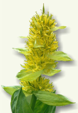 Flor de Genciana
