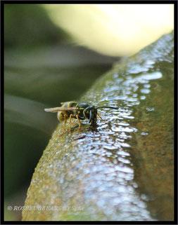 eine Wespe trinkt an unserem Schalenbrunnen