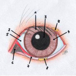 Abb. Das Auge eines Hundes