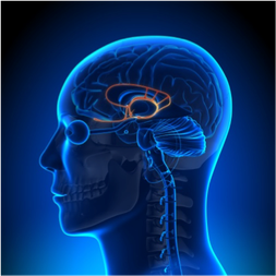 The limbic system includes and connects a variety of brain regions.