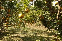 伊予柑畑の様子