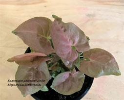 Syngonium Pink Heart