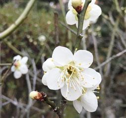 去年は梅の花が咲いていました。
