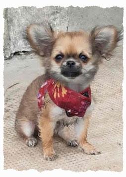 Chiot Chihuahua à l'école pour chiots à Dax