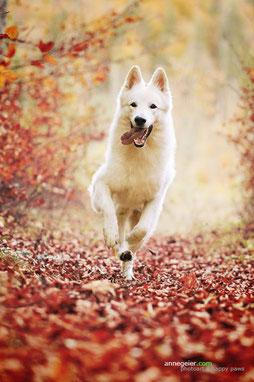 Bild:Merlin Aragon vom weissen Wächter weißer Schäferhund