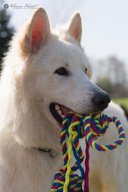 Bild:Weißer Schäferhund Deckrüde Merlin Aragon vom weissen Wächter