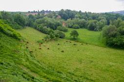Kuhweide unterhalb der Steinwand (Foto: B. Budig)