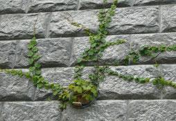 植栽:ナツヅタ