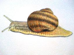 Weinbergschnecke, Aquarellstrifte auf Papier