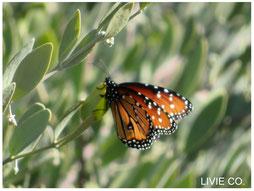 原種ホホバと女王蝶