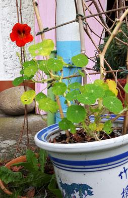 Garten, Farben, Blumen, Kapuzinerkresse