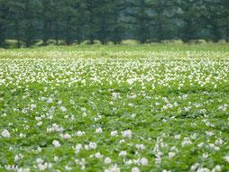 この時期はじゃがいもの花が畑に広がっています