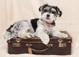 Un petit chien noir et blanc assis sur une valise marron par coach canin 16 educateur canin à domicile charente