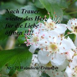 Spagyrische magische Pflanze Nr.25 Weissdorn / Crataegus