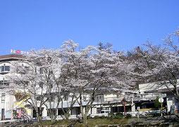 施設前の桜並木
