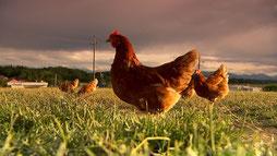 Während der Schweinfleischkonsum stagniert, essen die ÖsterreicherInnen immer mehr Hühnerfleisch.