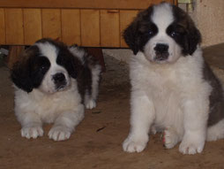 chiots Saint Bernard disponibles
