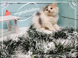 スコティッシュフォールド子猫の激安販売【関東・埼玉】ブリーダーから直接お迎えで、安心・安い!