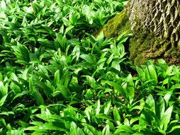 Bärlauch, wilder Knoblauch, Frühjahr, Heilwirkung