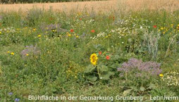 Blühfläche in der Gemarkung Grünberg - Lehnheim