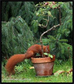 Eichhörnchen Nussvergraben