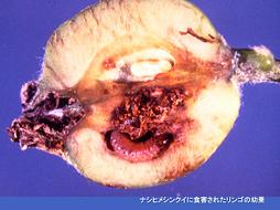 ナシヒメシンクイに食害されたリンゴの幼果