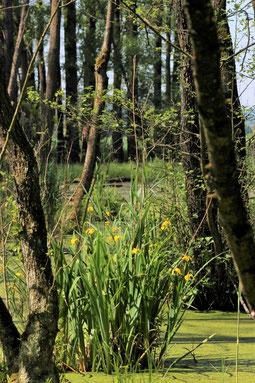 Sumpf-Schwertlilie Iris pseudacorus Gelbe Schwertlilie Wasser-Schwertlilie Wasenlöcher Illerberg Vöhringen Senden Naturschutzgebiet Bruchwald Niedermoor Natur Naturschutz Biotop Hybrid-Pappel Baum Totholz LBV Neu-Ulm