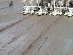 泥の表面に茶色の種、見える??