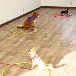 他の犬が居ても飼い主さんに集中する犬 ヨーキー マルチーズ