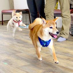 子犬を獣医さんと診察台の上に慣らす トイプードルとミニチュアダックスミックス