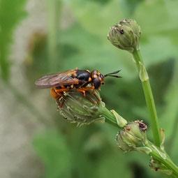 Eine Furchenbiene, wenn wir das richtig gesehen haben...