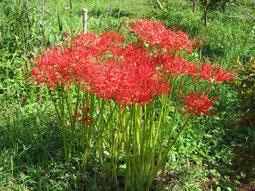彼岸花が燃えるように花盛りです。