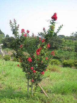 暑い中でもサルスベリ、むくげは元気に花を咲かせています。