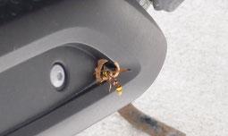 巣作り中のクロスジスズバチ