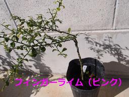 2020/01/25 フィンガーライム