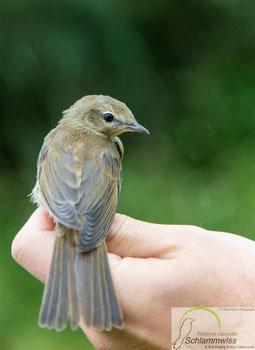 juv Garden warbler (Sylvia borin)