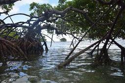 racines mangrove