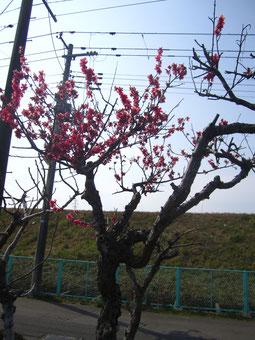 紅梅の木。