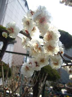 白い梅の花です。
